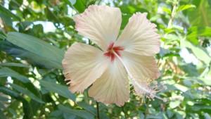 stockvault-hibiscus117436